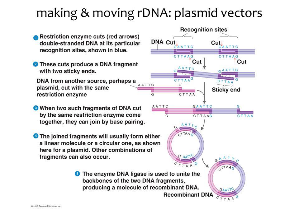 making & moving rDNA: plasmid vectors