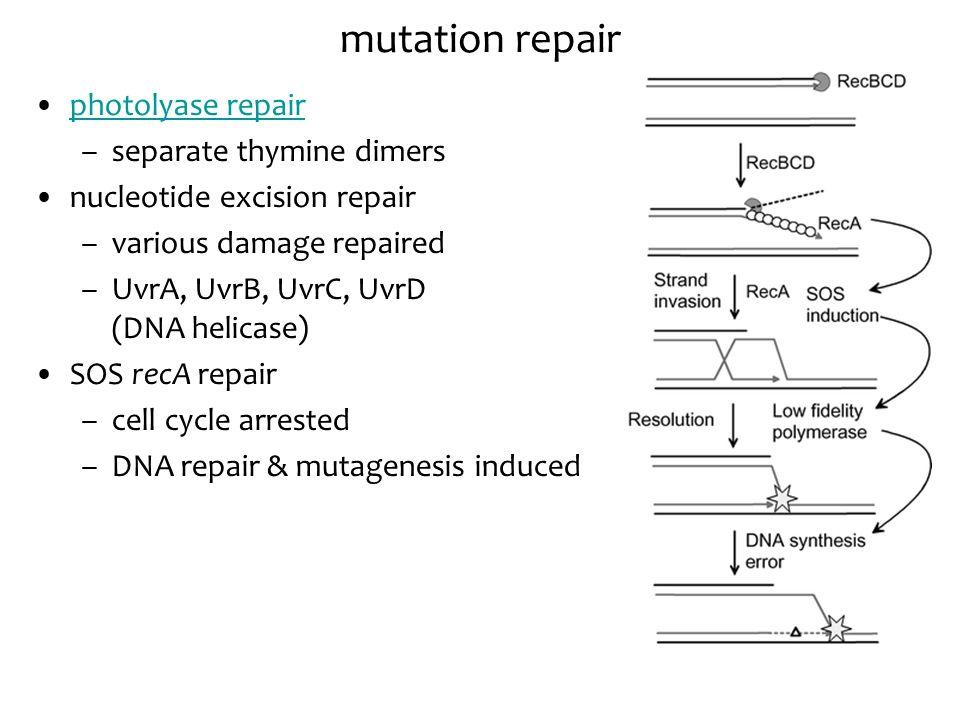 photolyase repair –separate thymine dimers nucleotide excision repair –various damage repaired –UvrA, UvrB, UvrC, UvrD (DNA helicase) SOS recA repair