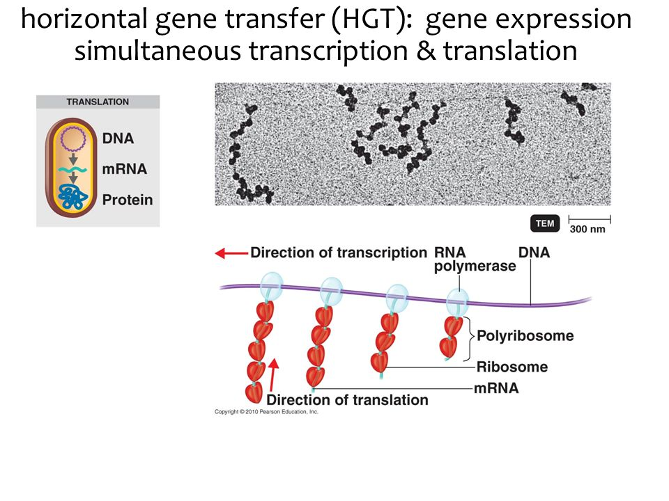 horizontal gene transfer (HGT): gene expression simultaneous transcription & translation