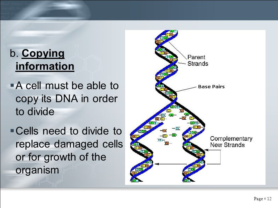 Page  12 b. Copying information  A cell must be able to copy its DNA in order to divide  Cells need to divide to replace damaged cells or for growt