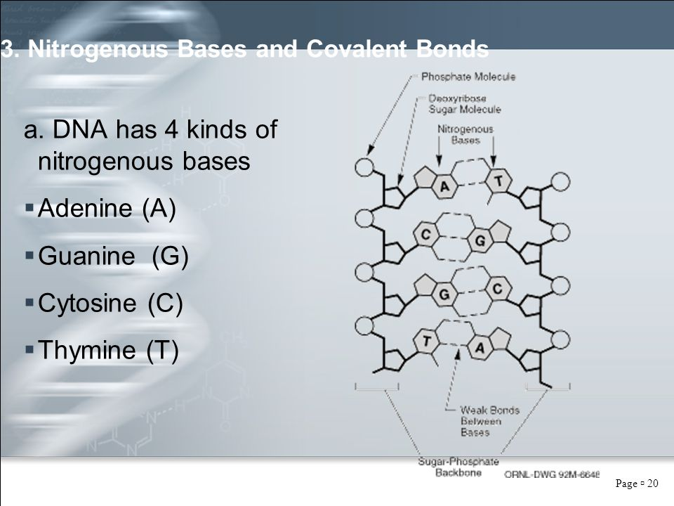 Page  20 3. Nitrogenous Bases and Covalent Bonds a. DNA has 4 kinds of nitrogenous bases  Adenine (A)  Guanine (G)  Cytosine (C)  Thymine (T)