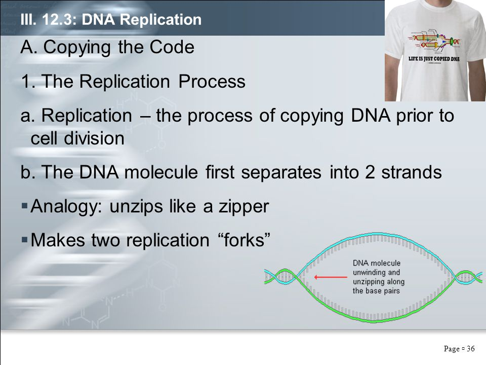 Page  36 III. 12.3: DNA Replication A. Copying the Code 1. The Replication Process a. Replication – the process of copying DNA prior to cell division