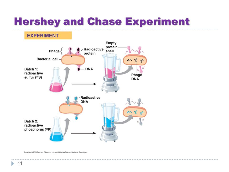 Hershey and Chase Experiment 11