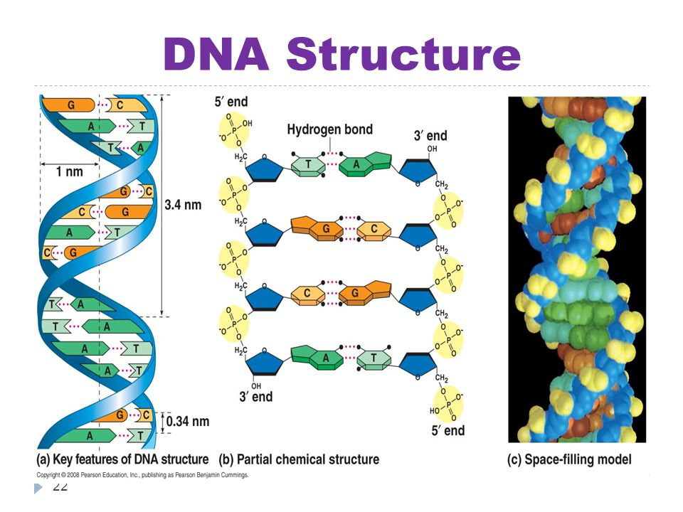 DNA Structure 22
