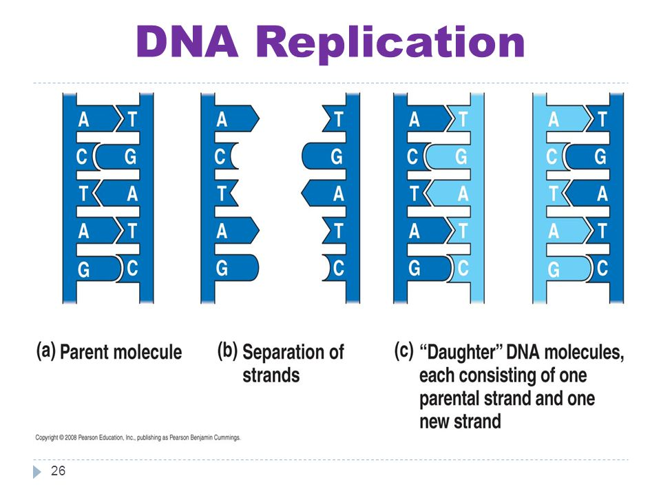 DNA Replication 26