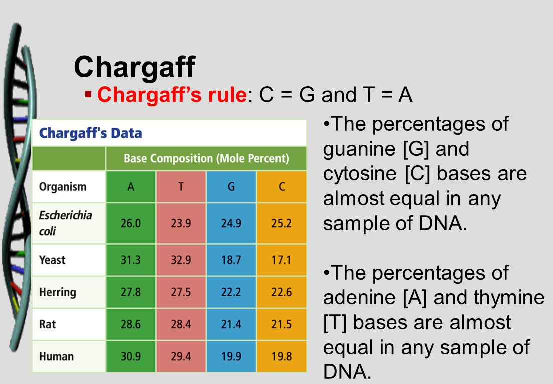 Chargaff   Chargaff's rule: C = G and T = A The percentages of guanine [G] and cytosine [C] bases are almost equal in any sample of DNA. The percent
