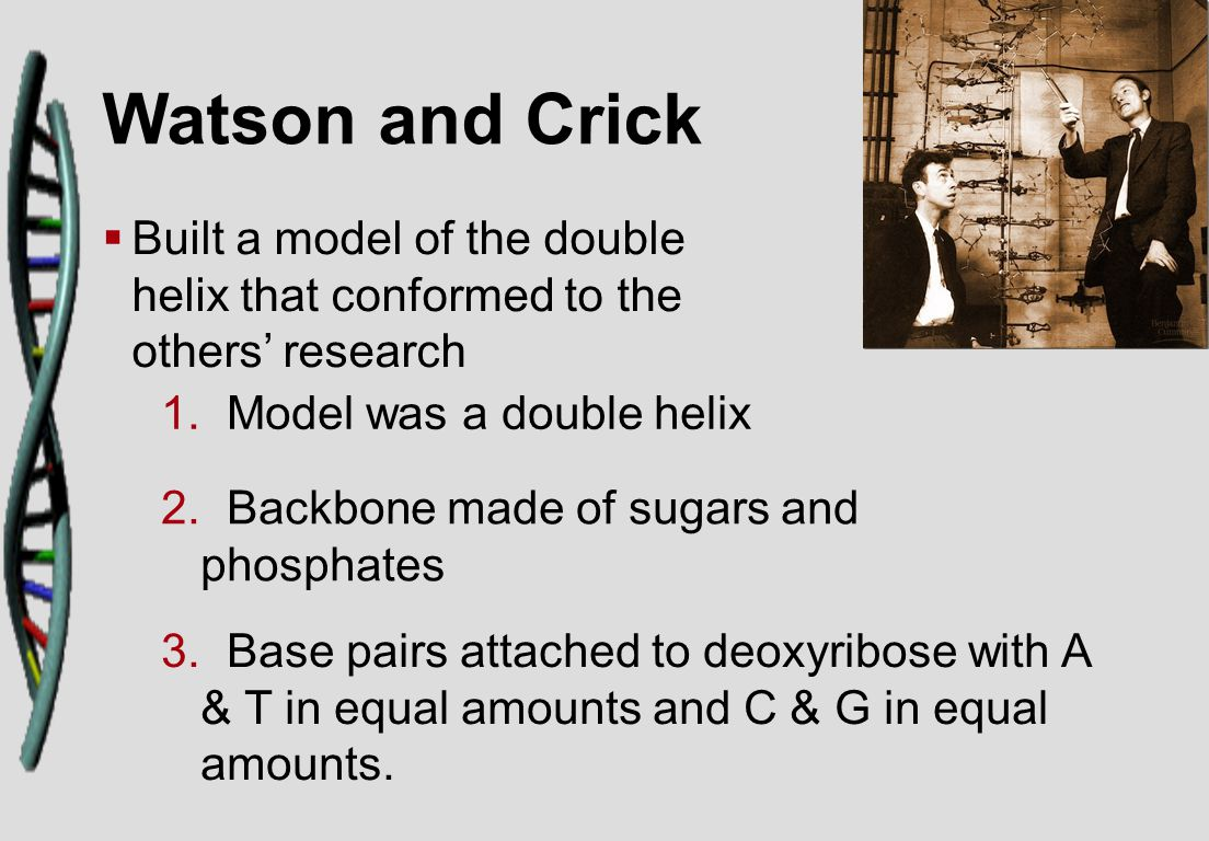 Watson and Crick   Built a model of the double helix that conformed to the others' research 1.