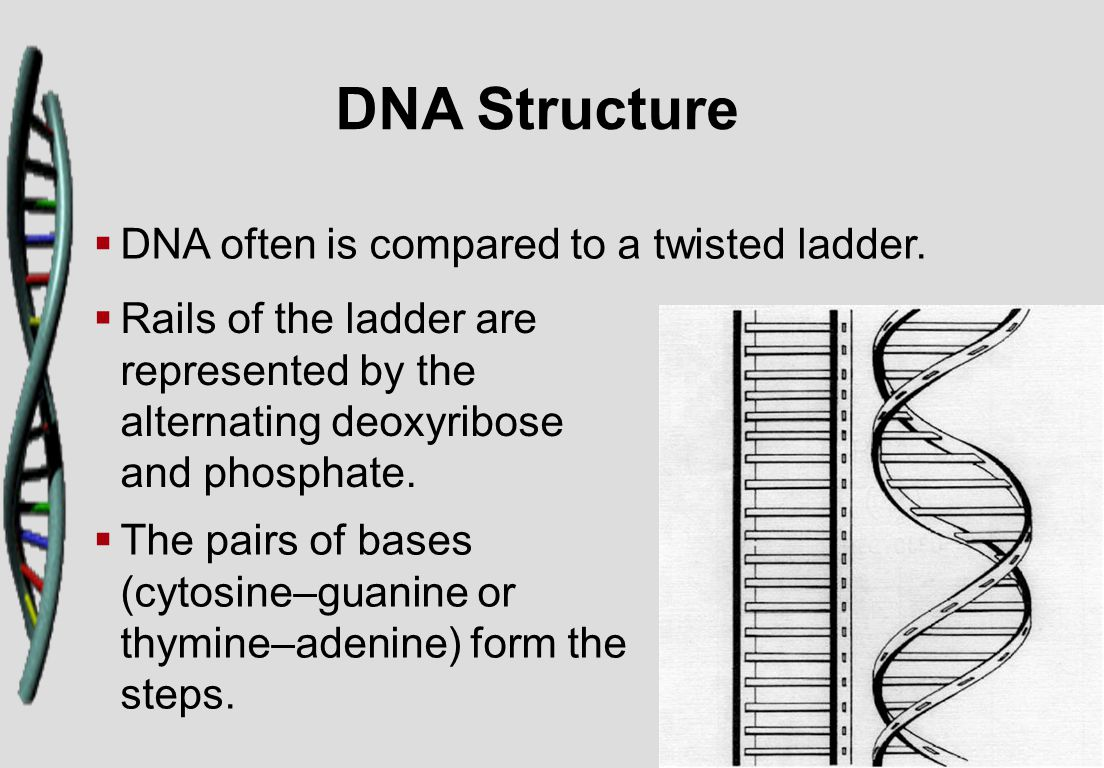 DNA Structure   DNA often is compared to a twisted ladder.   Rails of the ladder are represented by the alternating deoxyribose and phosphate.  