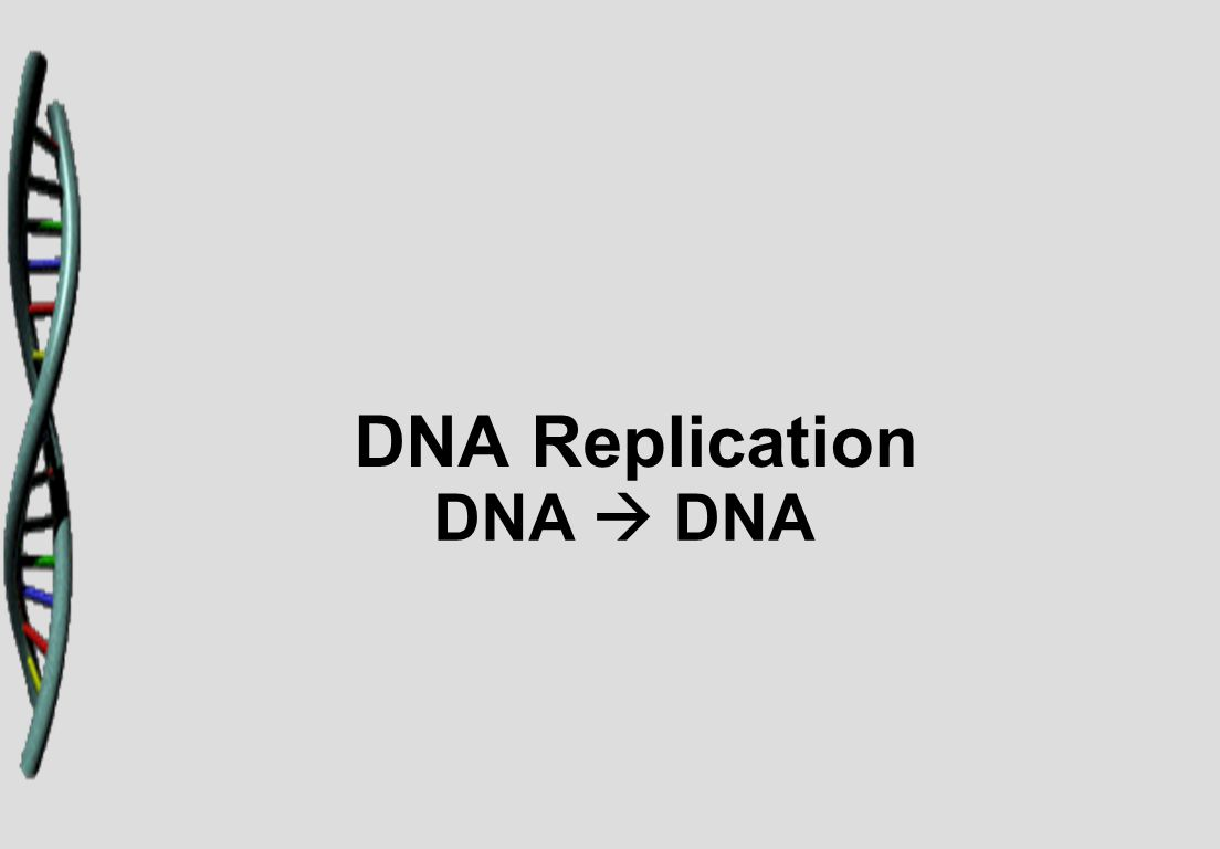 DNA Replication DNA  DNA