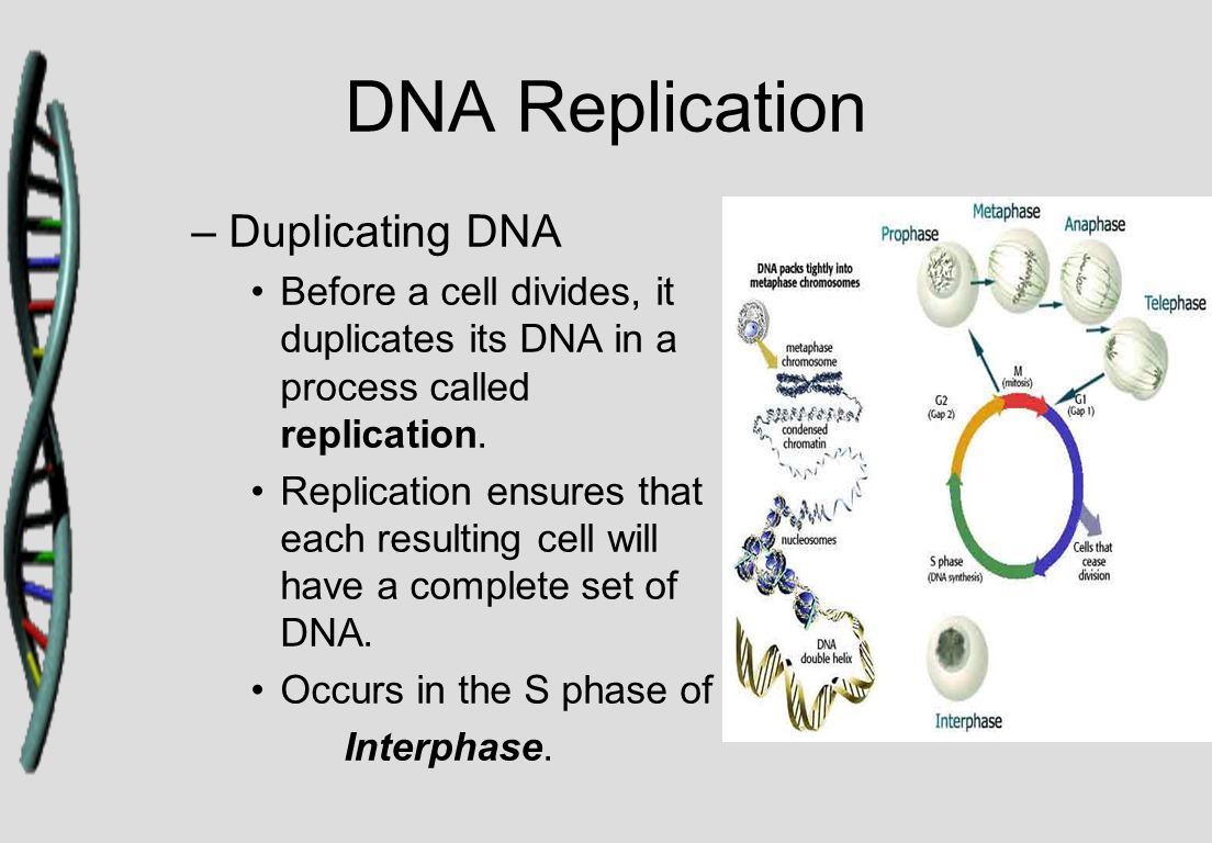 DNA Replication –Duplicating DNA Before a cell divides, it duplicates its DNA in a process called replication. Replication ensures that each resulting