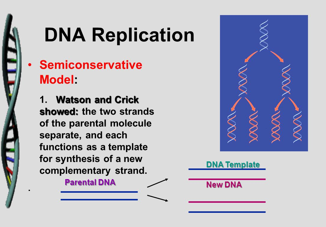 DNA Replication Semiconservative Model: Watson and Crick showed: 1.Watson and Crick showed: the two strands of the parental molecule separate, and each functions as a template for synthesis of a new complementary strand..