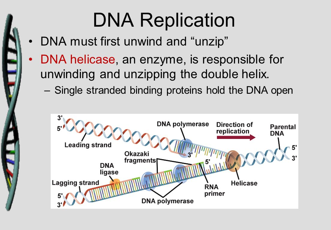 "DNA Replication DNA must first unwind and ""unzip"" DNA helicase, an enzyme, is responsible for unwinding and unzipping the double helix. –Single strand"