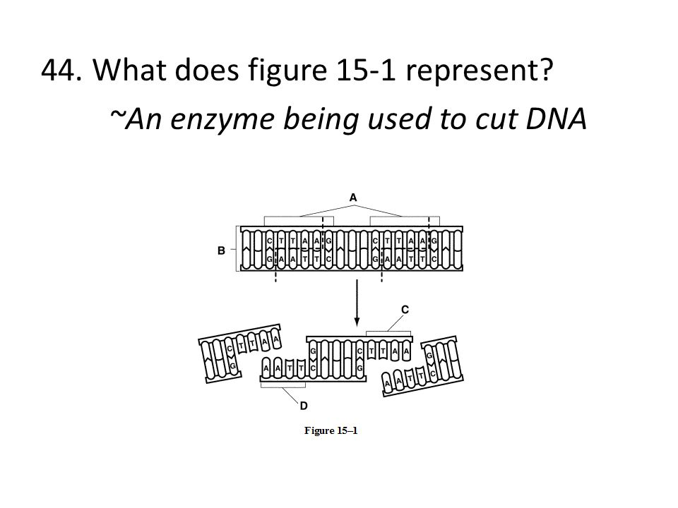 44. What does figure 15-1 represent? ~An enzyme being used to cut DNA