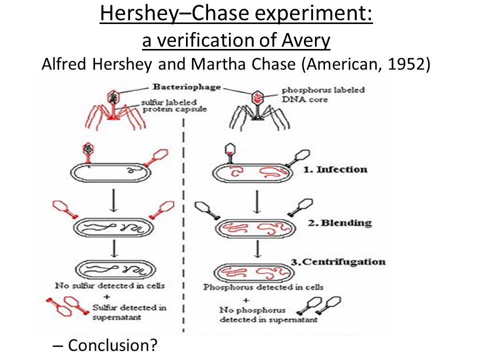 Hershey–Chase experiment: a verification of Avery Alfred Hershey and Martha Chase (American, 1952) – Conclusion?