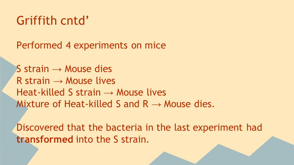Griffith cntd' Performed 4 experiments on mice S strain → Mouse dies R strain → Mouse lives Heat-killed S strain → Mouse lives Mixture of Heat-killed S and R → Mouse dies.