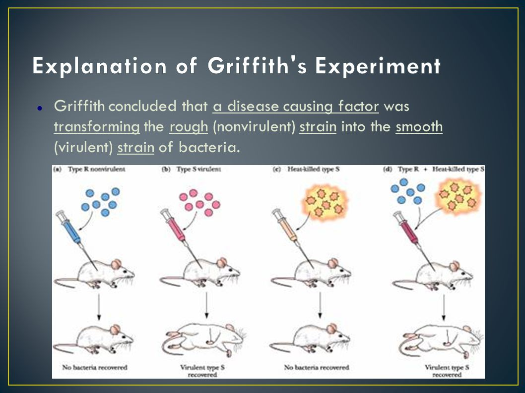Griffith concluded that a disease causing factor was transforming the rough (nonvirulent) strain into the smooth (virulent) strain of bacteria.