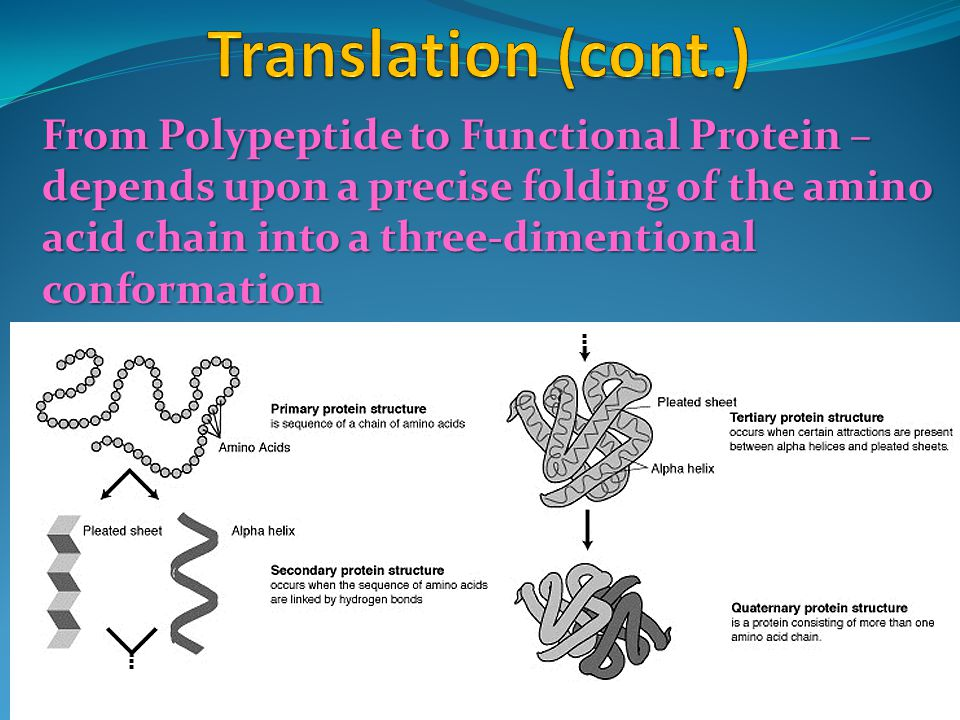 From Polypeptide to Functional Protein – depends upon a precise folding of the amino acid chain into a three-dimentional conformation
