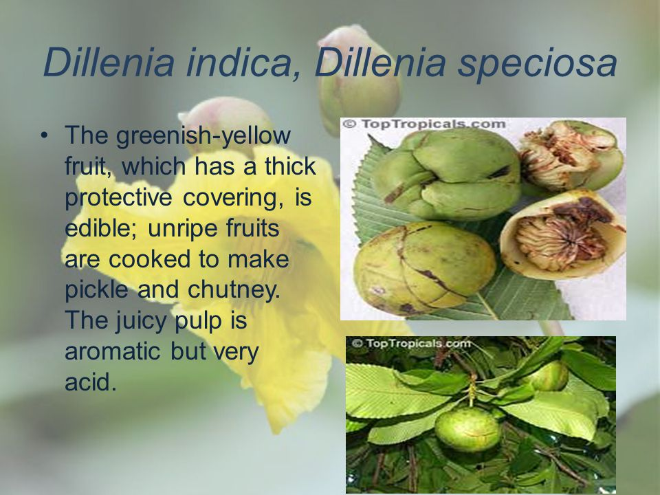 Dillenia indica, Dillenia speciosa The greenish-yellow fruit, which has a thick protective covering, is edible; unripe fruits are cooked to make pickl