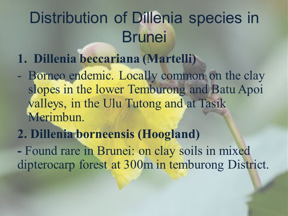 Distribution of Dillenia species in Brunei 1.Dillenia beccariana (Martelli) -Borneo endemic. Locally common on the clay slopes in the lower Temburong