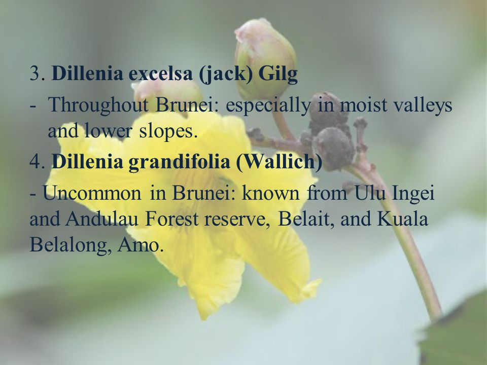 3. Dillenia excelsa (jack) Gilg -Throughout Brunei: especially in moist valleys and lower slopes. 4. Dillenia grandifolia (Wallich) - Uncommon in Brun