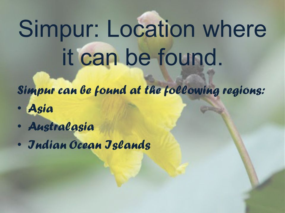 Simpur: Location where it can be found. Simpur can be found at the following regions: Asia Australasia Indian Ocean Islands