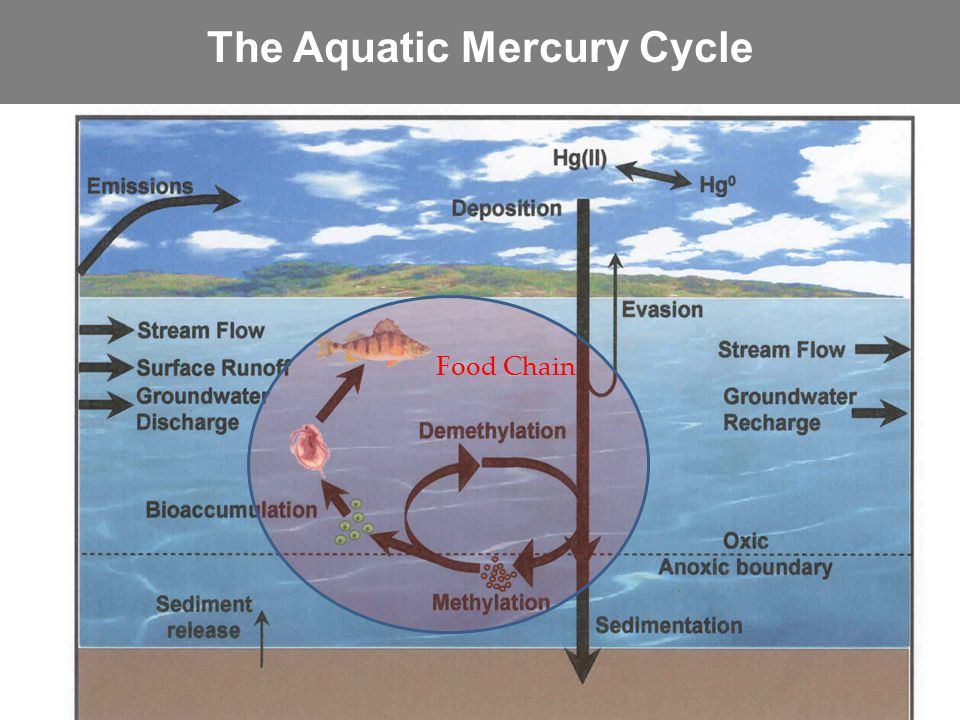 The Aquatic Mercury Cycle Food Chain