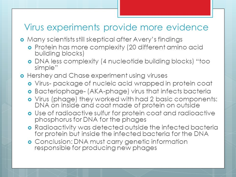 Virus experiments provide more evidence  Many scientists still skeptical after Avery's findings  Protein has more complexity (20 different amino acid building blocks)  DNA less complexity (4 nucleotide building blocks) too simple  Hershey and Chase experiment using viruses  Virus- package of nucleic acid wrapped in protein coat  Bacteriophage- (AKA-phage) virus that infects bacteria  Virus (phage) they worked with had 2 basic components: DNA on inside and coat made of protein on outside  Use of radioactive sulfur for protein coat and radioactive phosphorus for DNA for the phages  Radioactivity was detected outside the infected bacteria for protein but inside the infected bacteria for the DNA  Conclusion: DNA must carry genetic information responsible for producing new phages