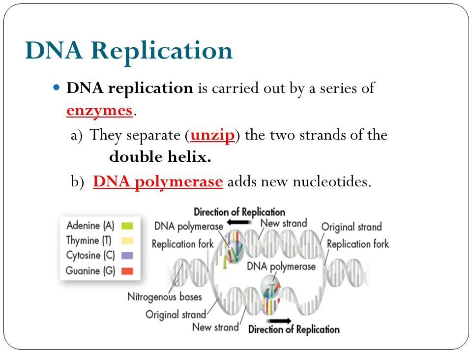 DNA Replication DNA replication is carried out by a series of enzymes.