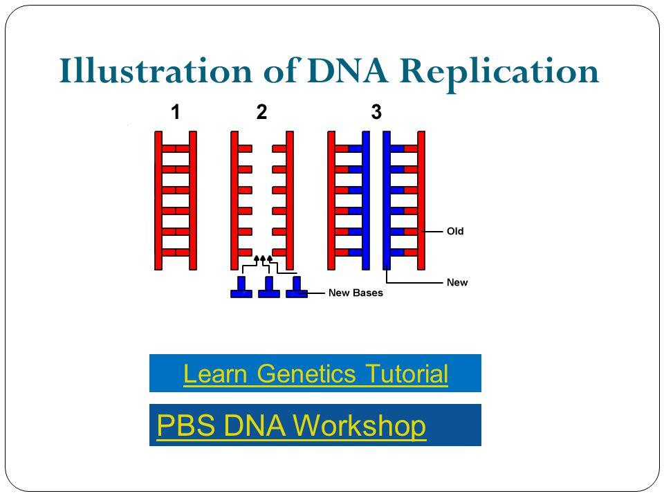 Illustration of DNA Replication Learn Genetics Tutorial PBS DNA Workshop