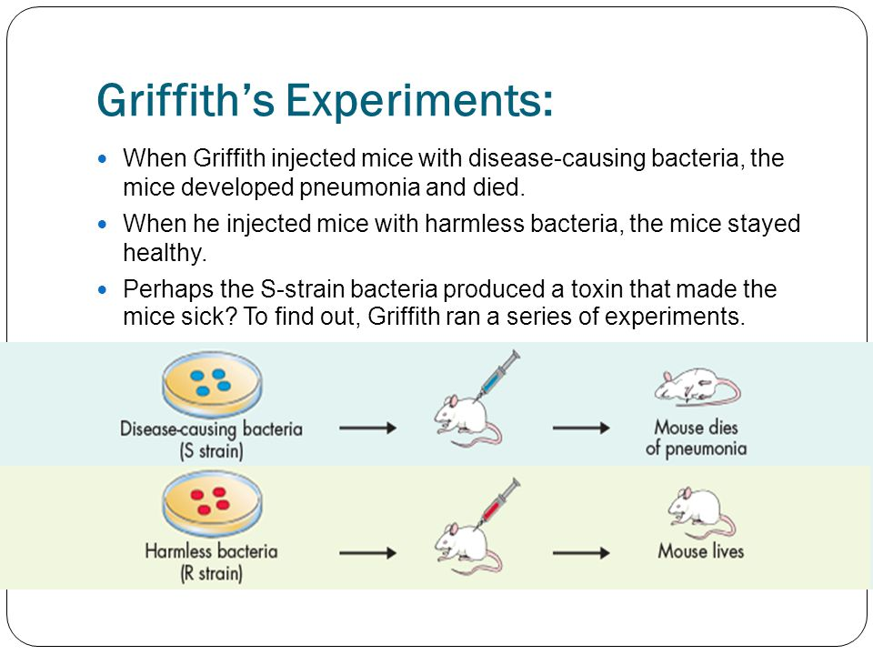 Griffith's Experiments: When Griffith injected mice with disease-causing bacteria, the mice developed pneumonia and died.