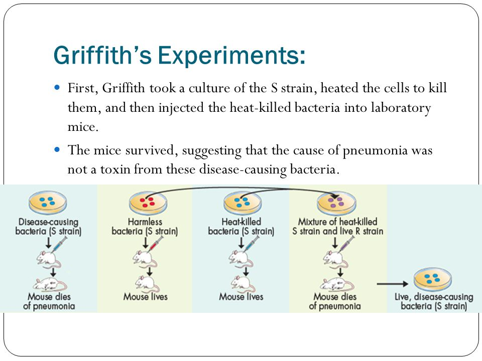 Griffith's Experiments: First, Griffith took a culture of the S strain, heated the cells to kill them, and then injected the heat-killed bacteria into laboratory mice.