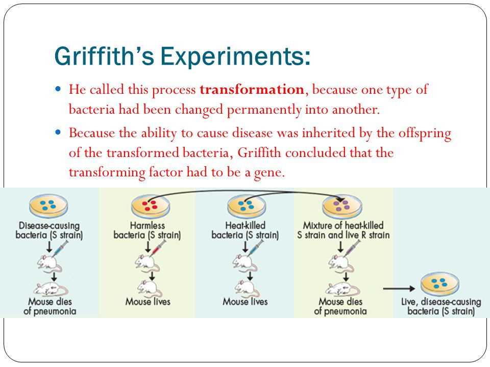 Griffith's Experiments: He called this process transformation, because one type of bacteria had been changed permanently into another.
