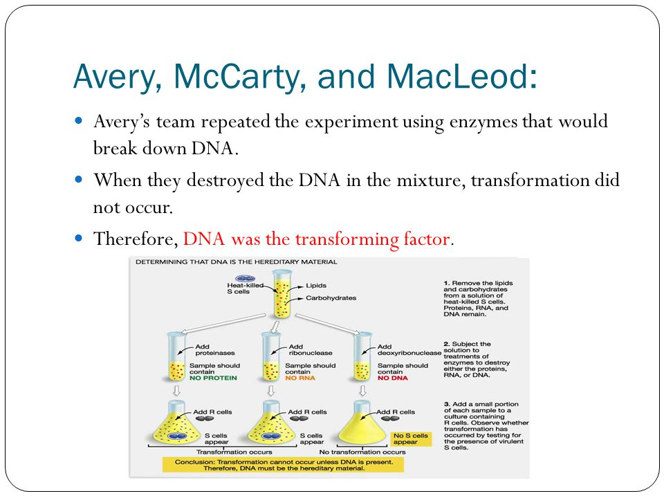 Avery, McCarty, and MacLeod: Avery's team repeated the experiment using enzymes that would break down DNA.