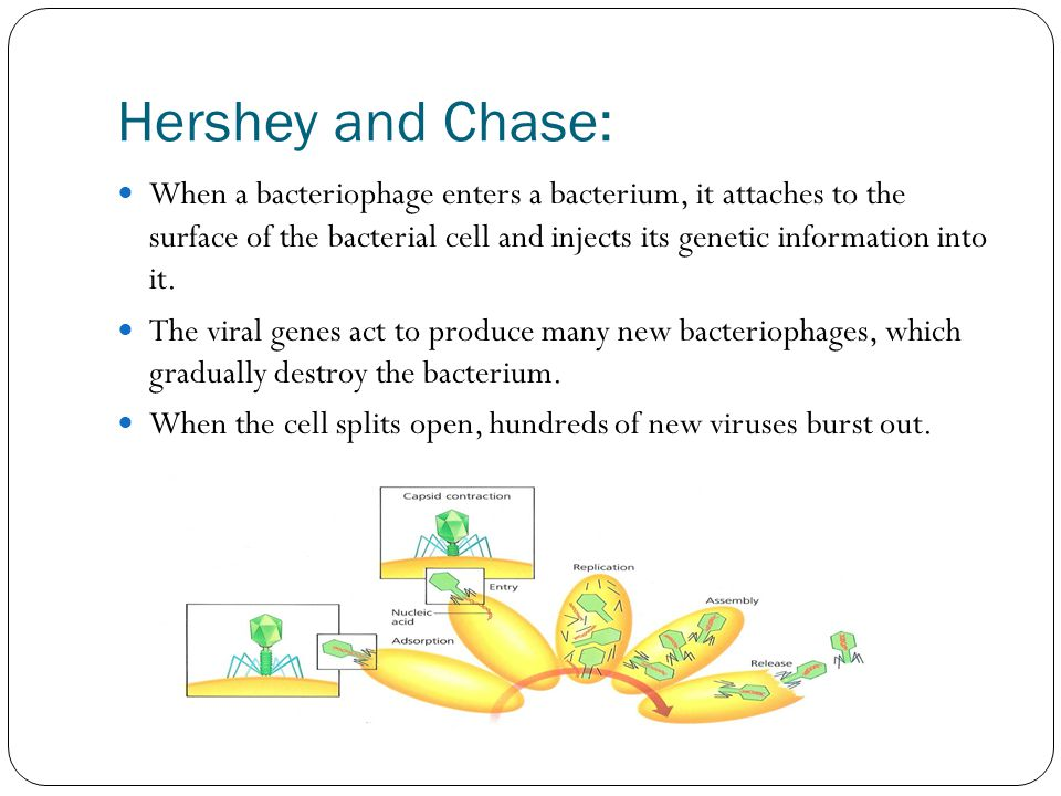 Hershey and Chase: When a bacteriophage enters a bacterium, it attaches to the surface of the bacterial cell and injects its genetic information into it.