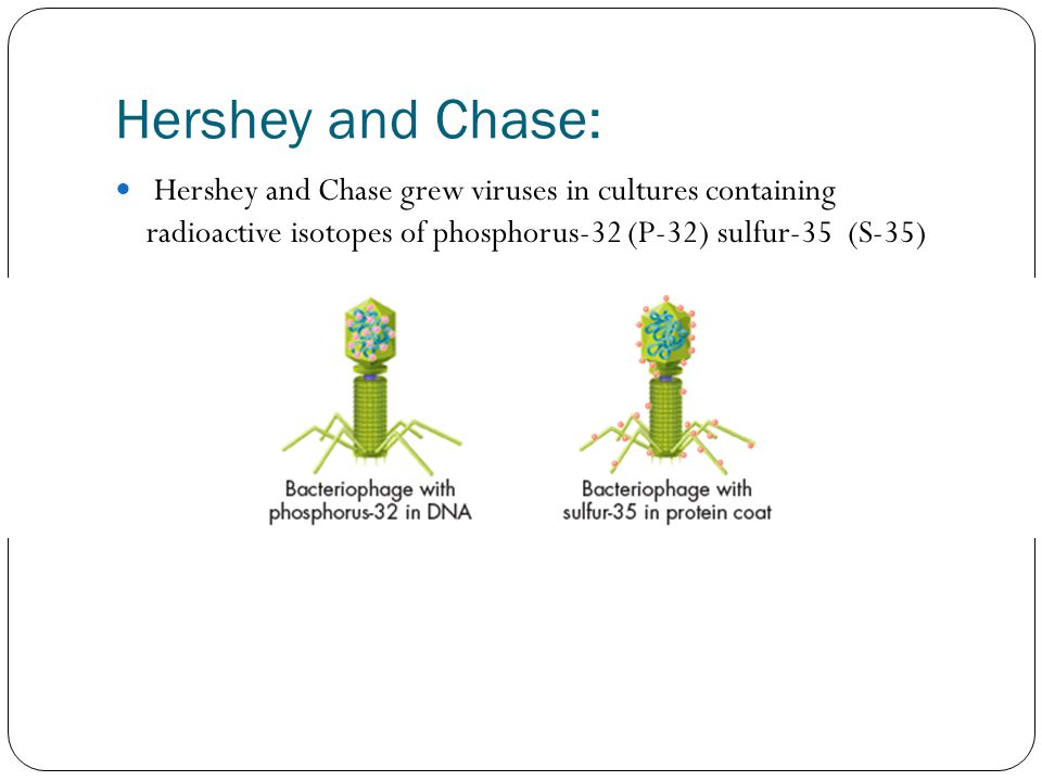 Hershey and Chase: Hershey and Chase grew viruses in cultures containing radioactive isotopes of phosphorus-32 (P-32) sulfur-35 (S-35)