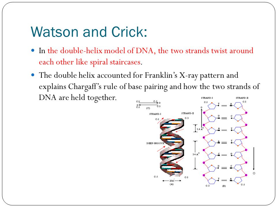 Watson and Crick: In the double-helix model of DNA, the two strands twist around each other like spiral staircases.