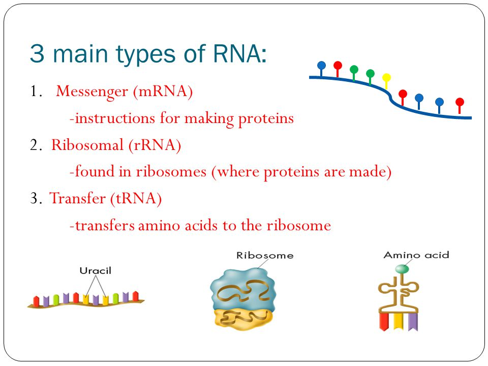 3 main types of RNA: 1. Messenger (mRNA) -instructions for making proteins 2.