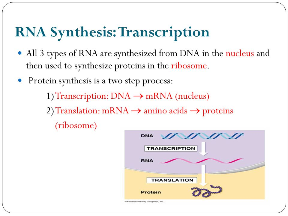 RNA Synthesis: Transcription All 3 types of RNA are synthesized from DNA in the nucleus and then used to synthesize proteins in the ribosome.