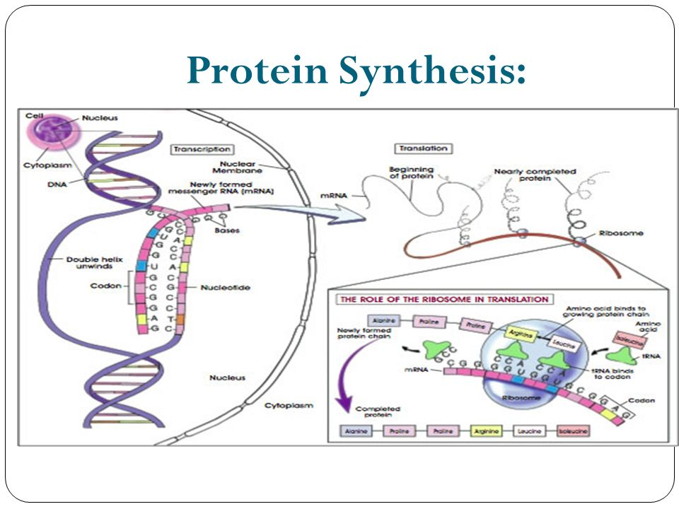 Protein Synthesis: