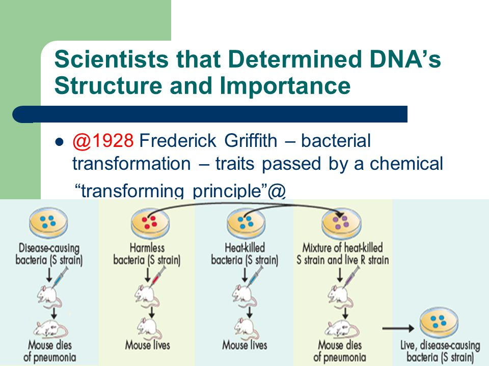 Central Dogma of Molecular Biology 1958 Francis Crick proposed: @DNA codes for the production of RNA RNA codes for the production of protein@ Protein does not code for the production of protein DNA or RNA Once information has passed into protein it cannot get back out again