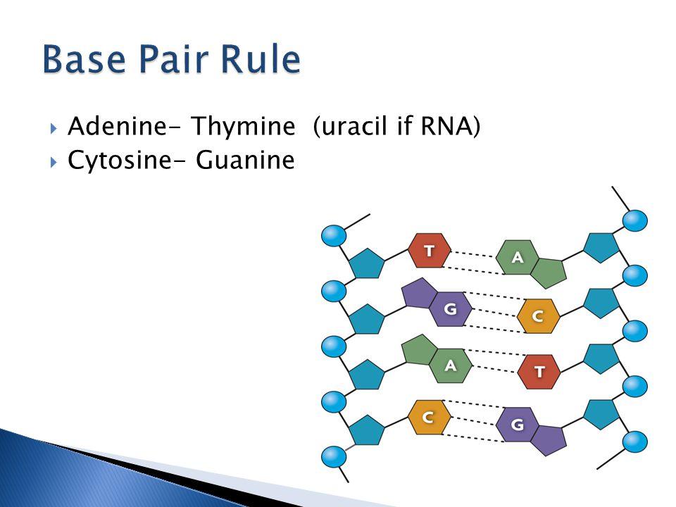  Adenine- Thymine (uracil if RNA)  Cytosine- Guanine