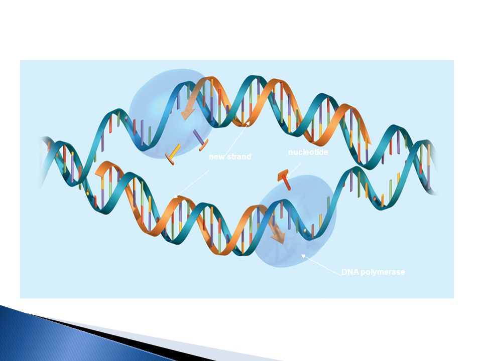 DNA polymerase new strand nucleotide