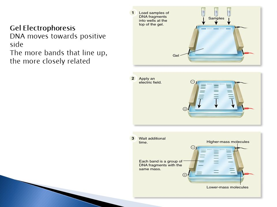 Gel Electrophoresis DNA moves towards positive side The more bands that line up, the more closely related