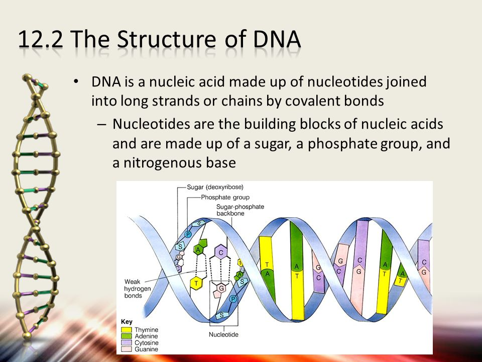 DNA is a nucleic acid made up of nucleotides joined into long strands or chains by covalent bonds – Nucleotides are the building blocks of nucleic aci