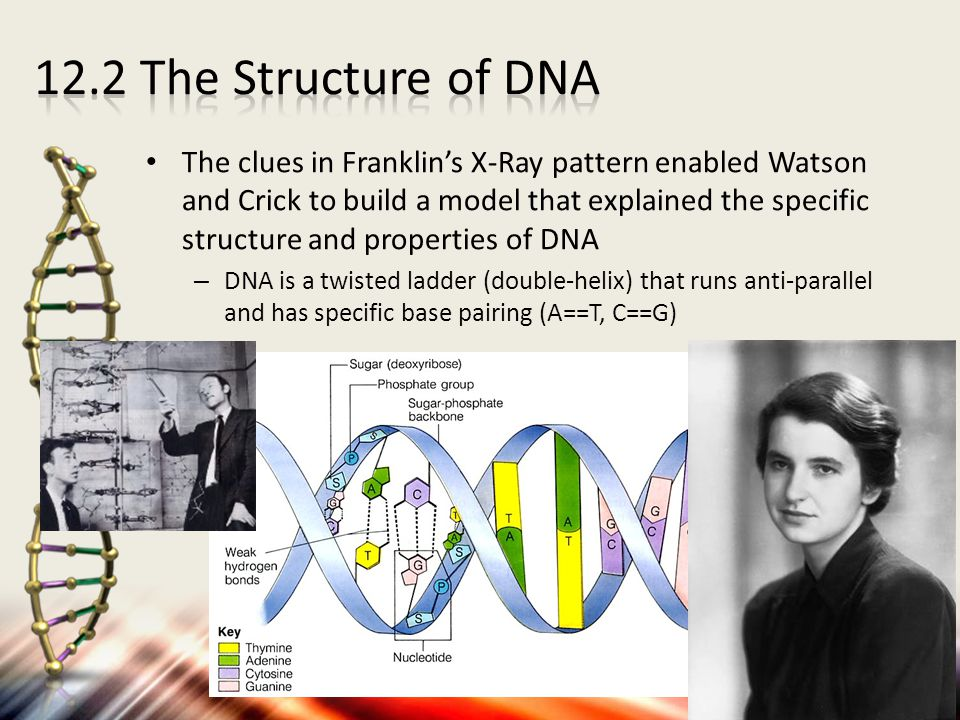 The clues in Franklin's X-Ray pattern enabled Watson and Crick to build a model that explained the specific structure and properties of DNA – DNA is a