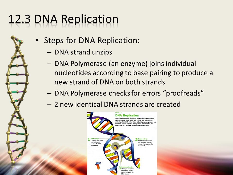 Steps for DNA Replication: – DNA strand unzips – DNA Polymerase (an enzyme) joins individual nucleotides according to base pairing to produce a new st