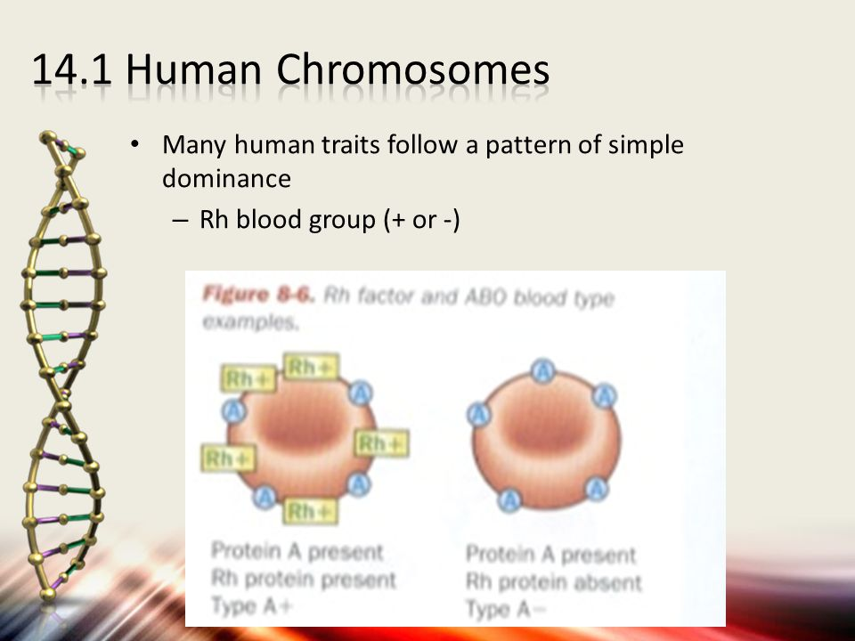Many human traits follow a pattern of simple dominance – Rh blood group (+ or -)