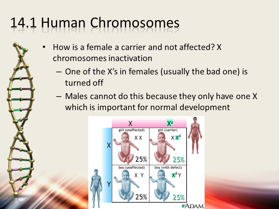 How is a female a carrier and not affected? X chromosomes inactivation – One of the X's in females (usually the bad one) is turned off – Males cannot