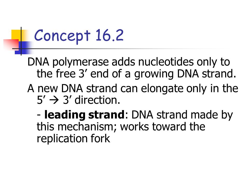 DNA polymerase adds nucleotides only to the free 3' end of a growing DNA strand. A new DNA strand can elongate only in the 5'  3' direction. - leadin