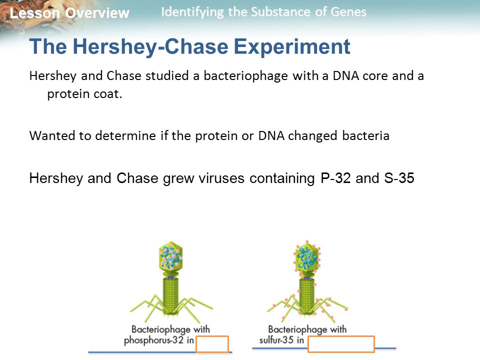 Lesson Overview Lesson Overview Identifying the Substance of Genes The Hershey-Chase Experiment Hershey and Chase studied a bacteriophage with a DNA core and a protein coat.